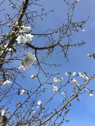 2016年桜1.jpg