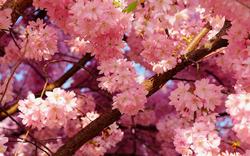 お気に入り桜.png