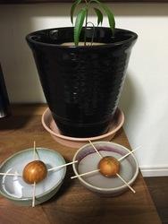 アボガトの種.jpg