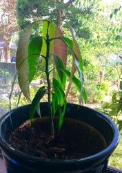 マンゴの木6月.jpg