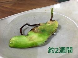マンゴ成長2週間.jpg