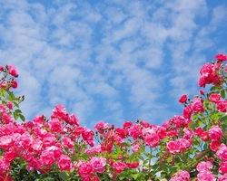 ミニバラと青空.jpg