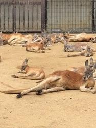 王子動物園カンガルー1.jpg