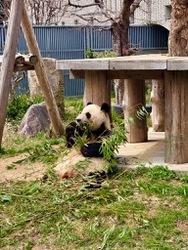 王子動物園パンダ1.jpg
