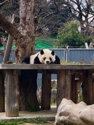 王子動物園パンダ2.jpg
