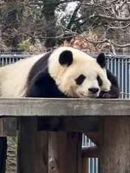 王子動物園パンダ3.jpg