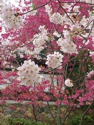 金毘羅さん桜j1.jpg