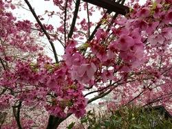 金毘羅さん桜j2.jpg