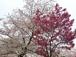 金毘羅さん桜j3.jpg
