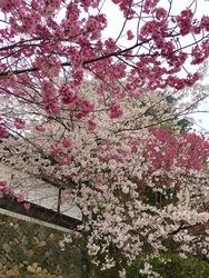 金毘羅さん桜j4.jpg