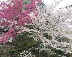金毘羅さん桜jpg.jpg