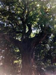 月夜見宮楠の木.jpg