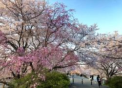 五十鈴川桜.jpg