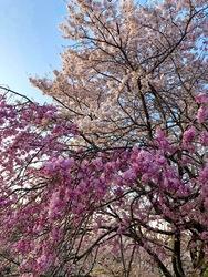 五十鈴川桜1.jpg