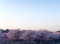 五十鈴川桜3.jpg