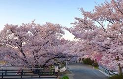 五十鈴川桜5.jpg