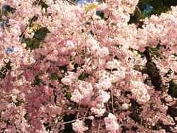 高野山桜.JPG