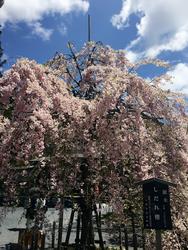 高野山桜.png