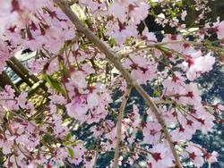 高野山桜1.png