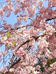 高野山桜3.JPG