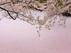 桜NEWjpg.jpg
