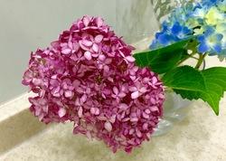 青少年紫陽花.jpg