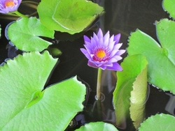 智さんバリ蓮の花1.jpg