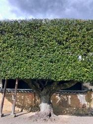 粉河寺の樹.jpg