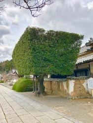粉河寺の樹1.jpg
