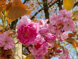 立里荒神桜.jpg
