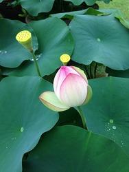 蓮の花・1.jpg
