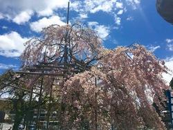 GW桜.jpg