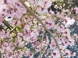 GW桜1.jpg