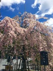 GW桜2.jpg