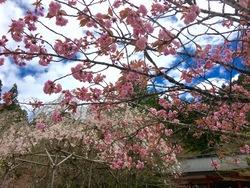 GW桜3.jpg
